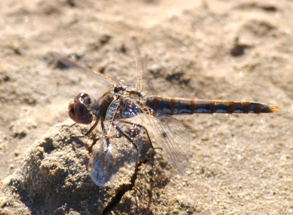 Female Variegated Meadowhawk