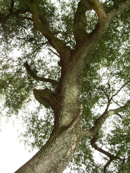 Mother Earth, Mother Oak