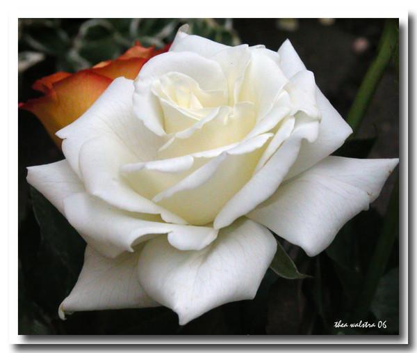 White silk 2