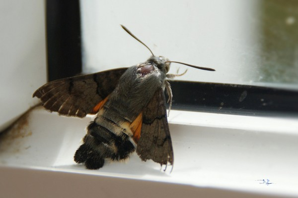 Kolibrie Butterfly