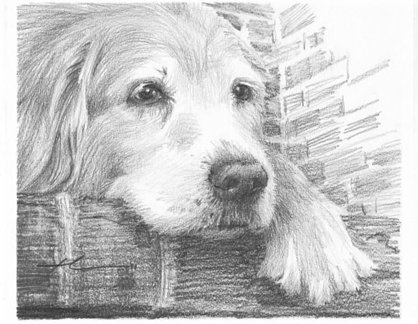 setter dog drawing