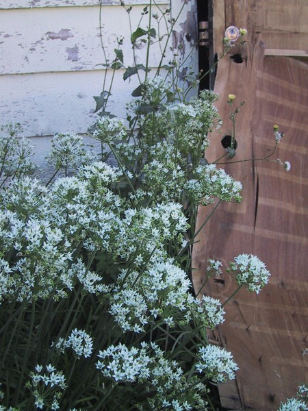 garlic blossoms near shed