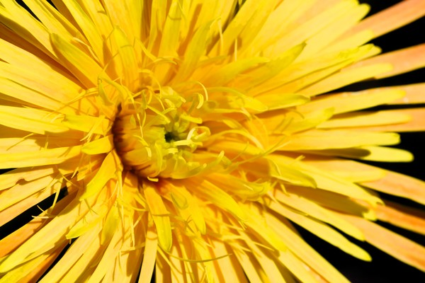 Yellow Gerbera Macro