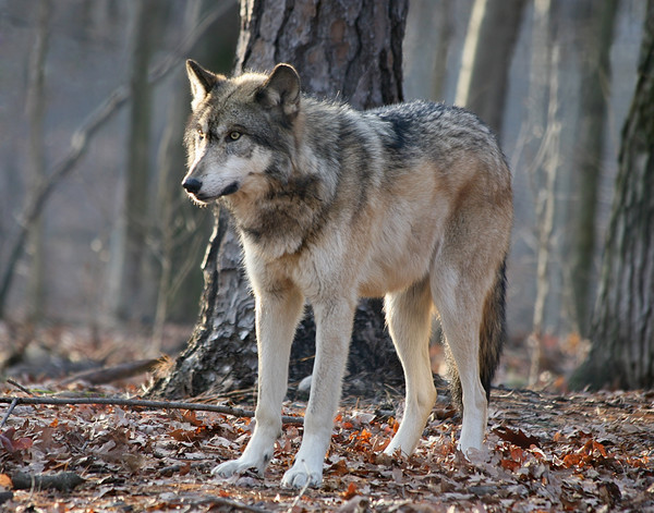 Timber Wolf at Twilight