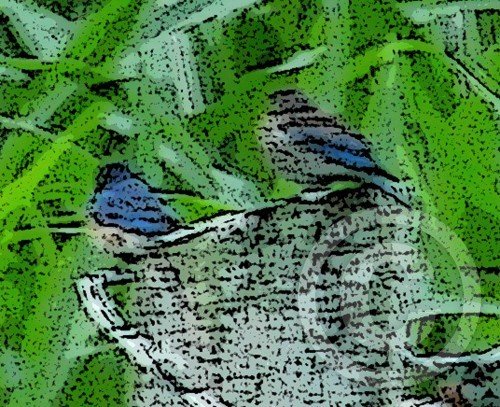 Bluebird of Happiness X2