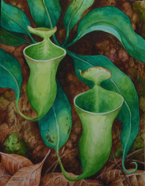 Borneo Nepenthes Campanulata
