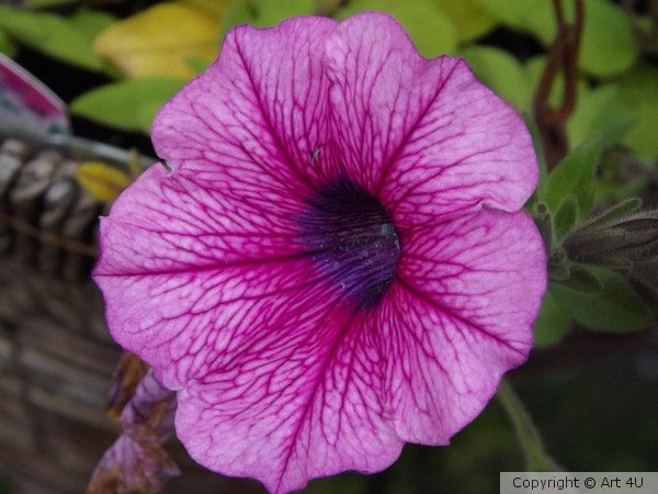 Pink.Petunia