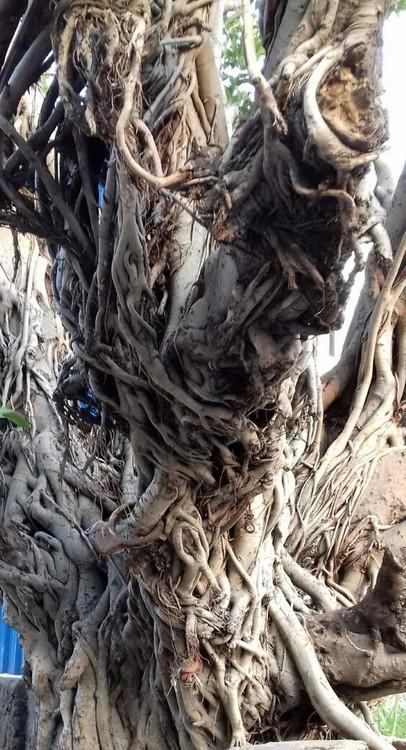 Trunk of Banyan Tree