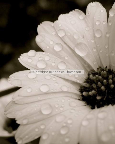 Calendula in Evening Rain