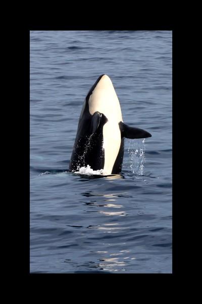 Whale in San Juan
