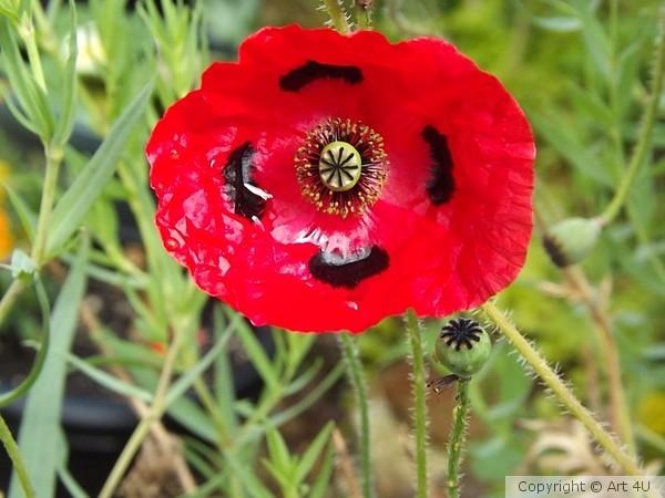 Ladybird.Poppy