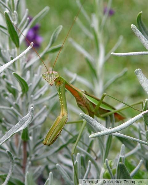 Mantis in Lavender