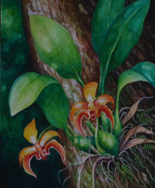 Borneo Orchid - Bulbophyllum Auriculatum