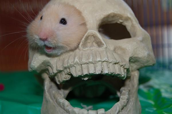 Hamster in Skull
