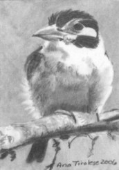 White Earred Puffbird - ACEO