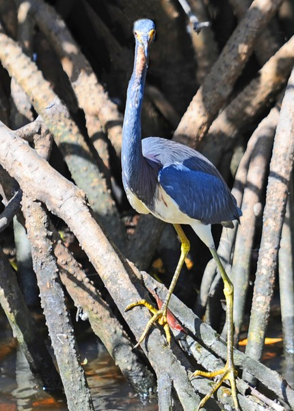 Long-Necked Tricolor Heron