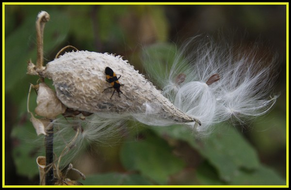 MILKWEED AND BUG
