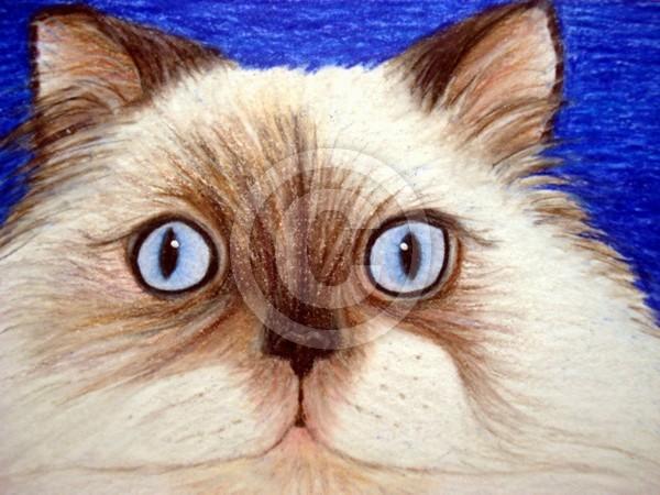 Sassy the Himalayan Cat