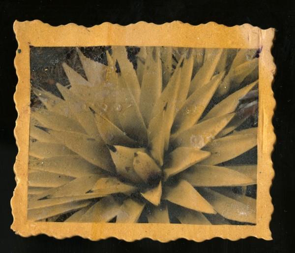 IMAGE TRANSFER Desert Agave
