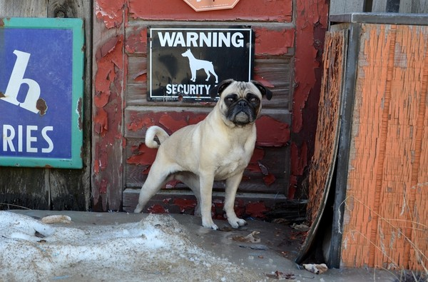 Guard Pug