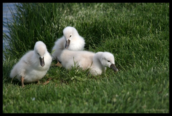 Swanlings