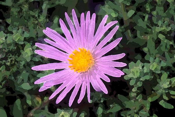 Tansy aster 2