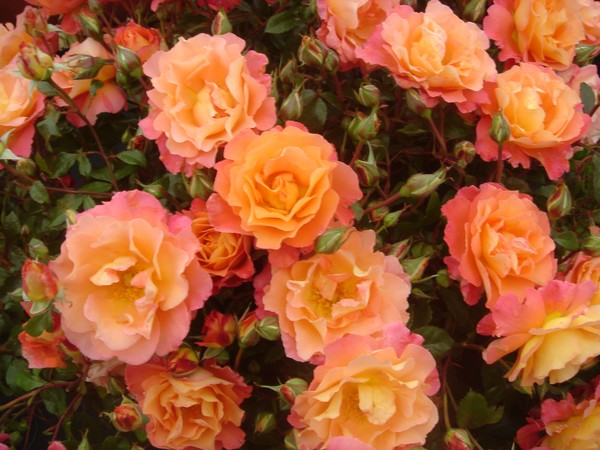 A Grandier of roses