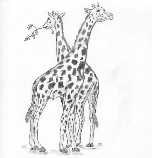 Necking giraffes