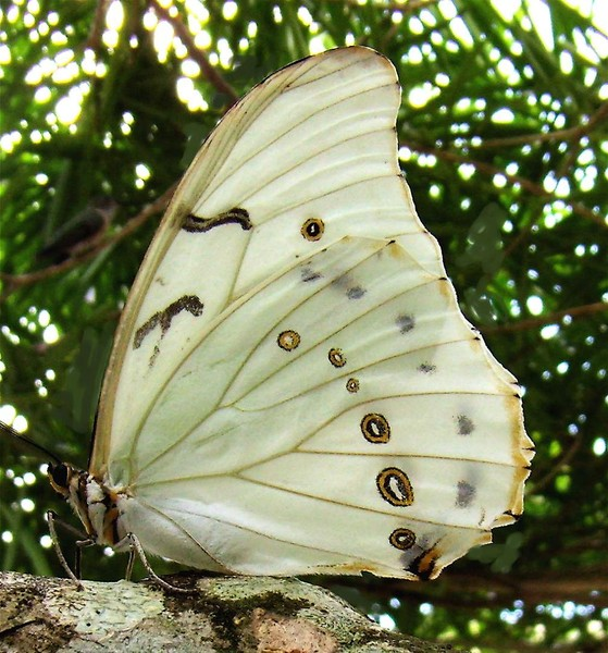 The Lycaenid Butterfly