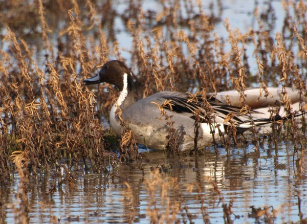Pintail in Rotala