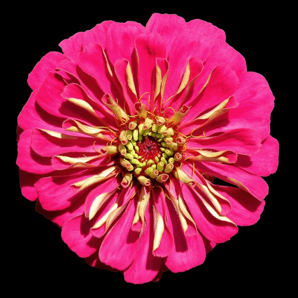 Hot Pink Zinnea