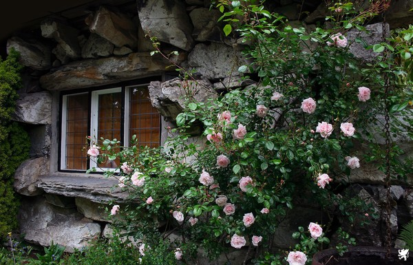 ROSES AGAINST THE WINDOW