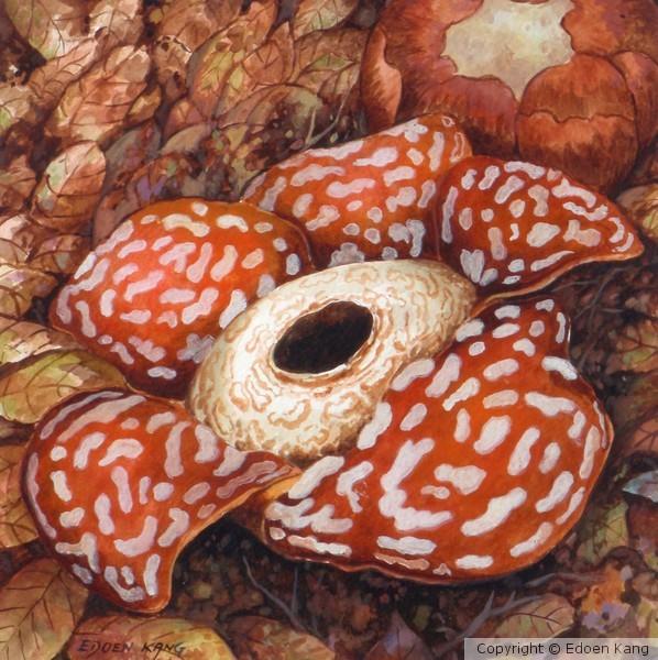 Borneo Rafflesia II