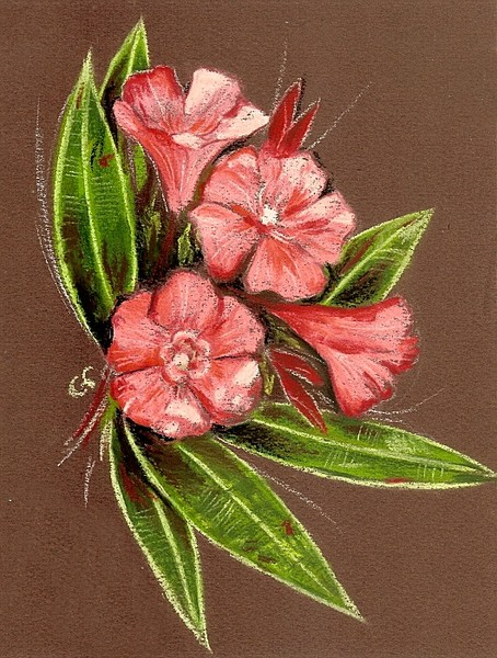 Oleander