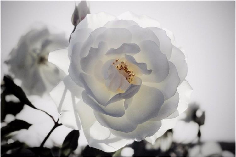 Rosa Blanca 4 final cut