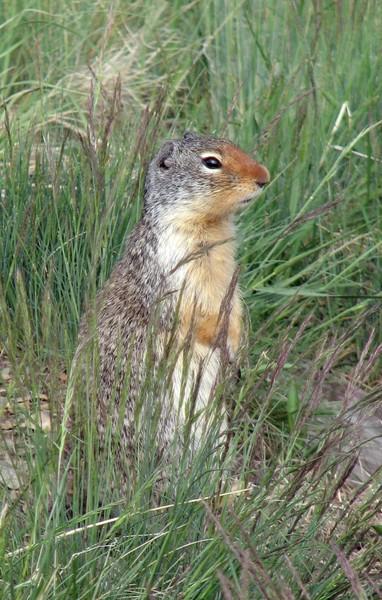 Waterton - Ground Squirrel