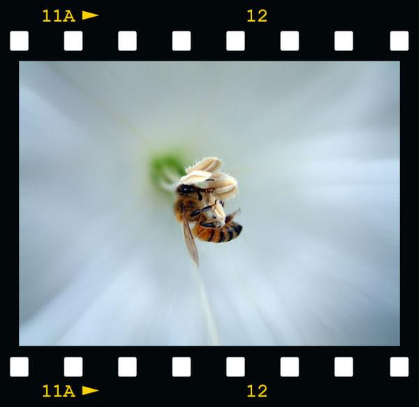 Bee inside Moon Flower