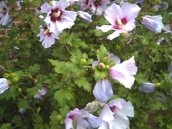 midsummers garden blush