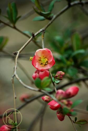 Apple Blossoms P0370