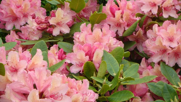 Rhododendron warm