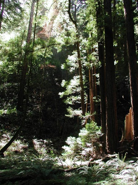 Redwood's Forest