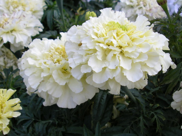 White Mystery Flowers