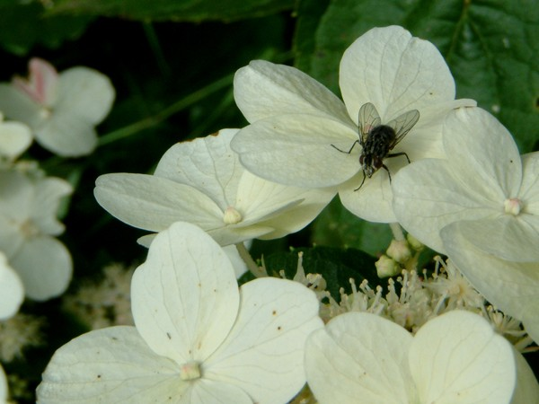 Fly on White Flower