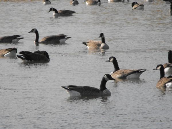 got goose?