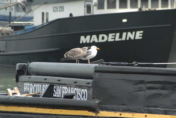 Hercules Madeline of San Francisco