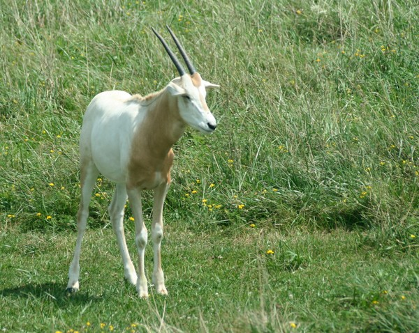 Young Scimitar-horned Oryx