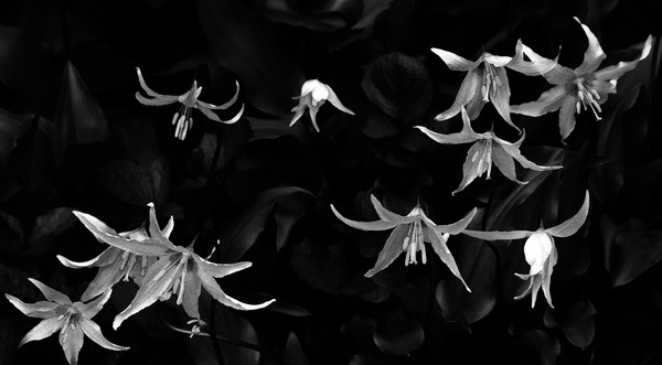 Ode to the Avalanche Lily