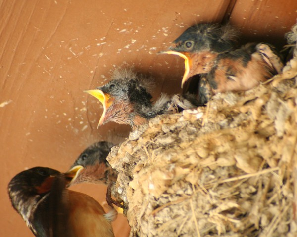 Feed Me! Feed Me! Baby Barn Swallows