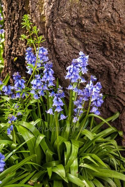Bluebell Beauties