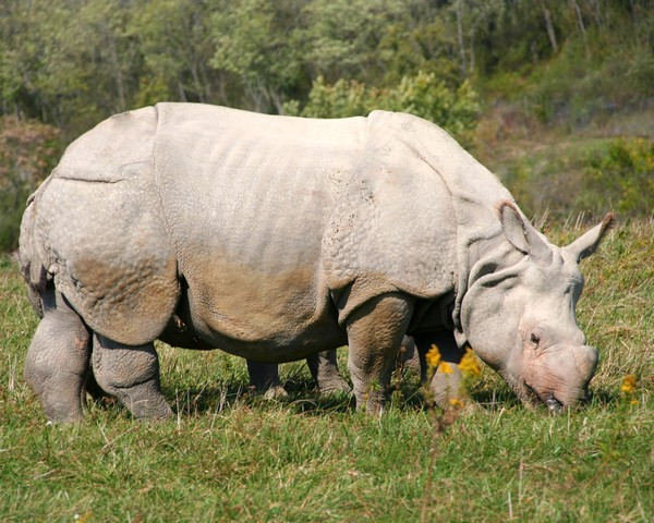 Greater One-horned Asian Rhino